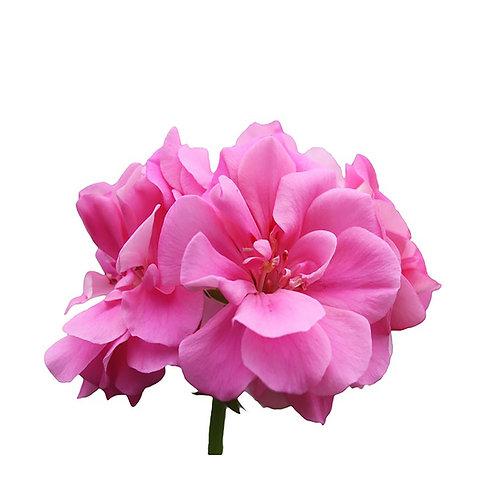 GERANIUM ROSE (Pelargonium roseum)