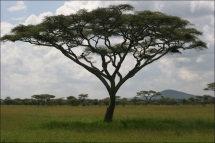 MUHUHU (African Sandalwood) (Brachyleana hutchinsii)