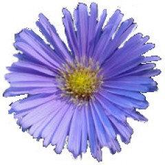 CHAMOMILE, GERMAN (Blue Chamomile) ~ (Matricaria chamomilla)