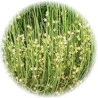 Tea: Mormon (Brigham Tea) Herbal Tea - Organic -1 Oz.