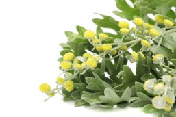 DAVANA (Artemisia pallens)