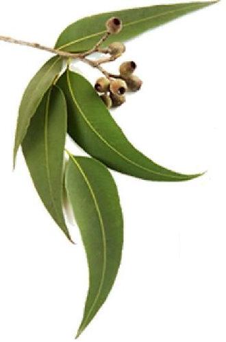 EUCALYPTUS, LEMON  (Eucalyptus citriodora)