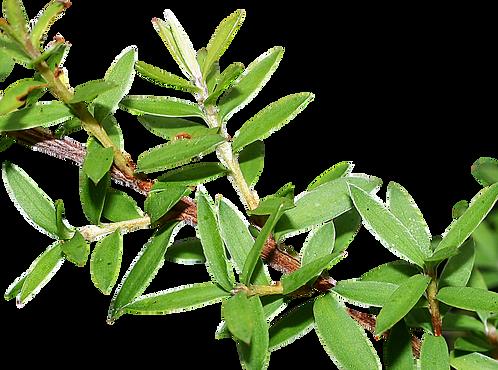 MANUKA (Leptospermum scoparium)