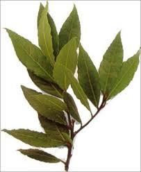 BAY LAUREL (Laurus nobilis)
