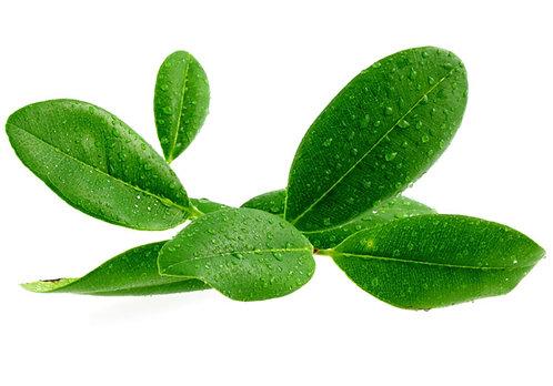 RAVENSARA (Ravintsara aromatica)