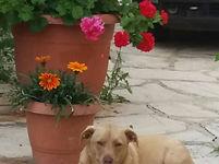 Corfu Dogs