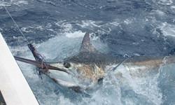 Bermuda blue marlin