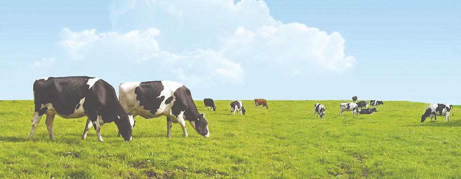 Cows%20Tall_edited.jpg