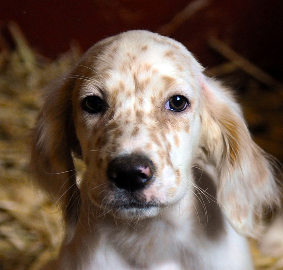 Llewellin Setter Puppies For Sale