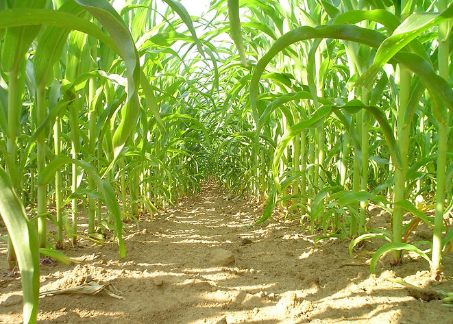 corn-tunnel-1325493-1600x1200-min.jpg