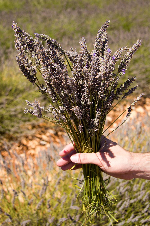 Amvilleneuve.com , bouquet de lavande fraîchement cueilli à Sault, France