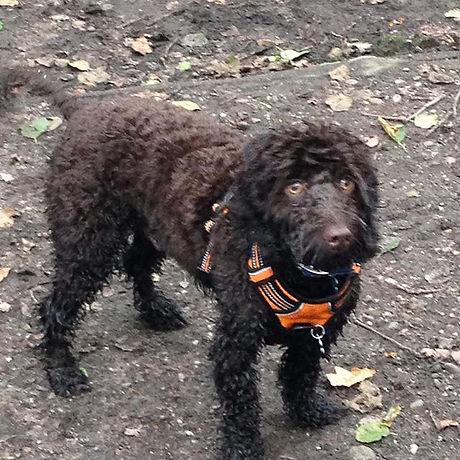 #fetchandstretchpets #dog Walker #Blythe Bridge #cockerpoo #puppy