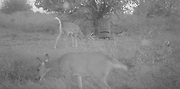 one and done feeder and grazing deer