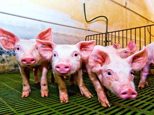 Granjas porcinas en Yucatán: impacto ambiental y contaminación.