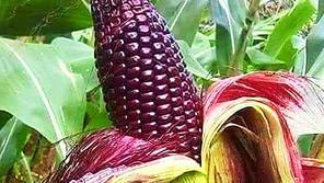 El maíz es parte de la identidad de México