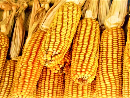 El T- MEC y el maíz