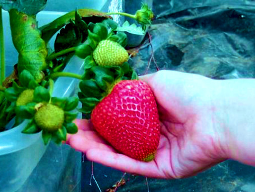 ¡¡¡¡Atrévete a cultivar fresas hoy!!!!