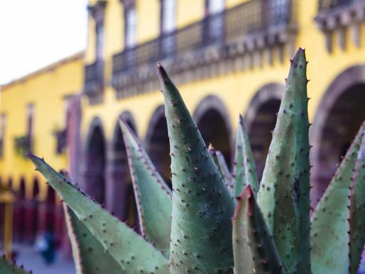 El Agave, una planta maravillosa