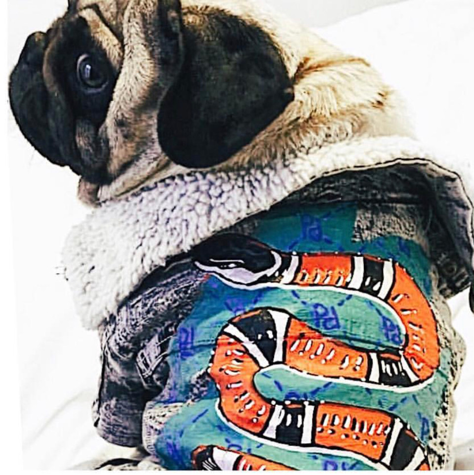 Pug Jopie in a customized jacket