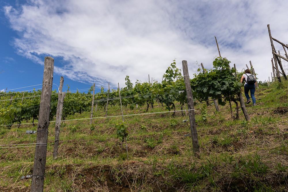 Le vigne sulla Collina di Moneta, a Carrara