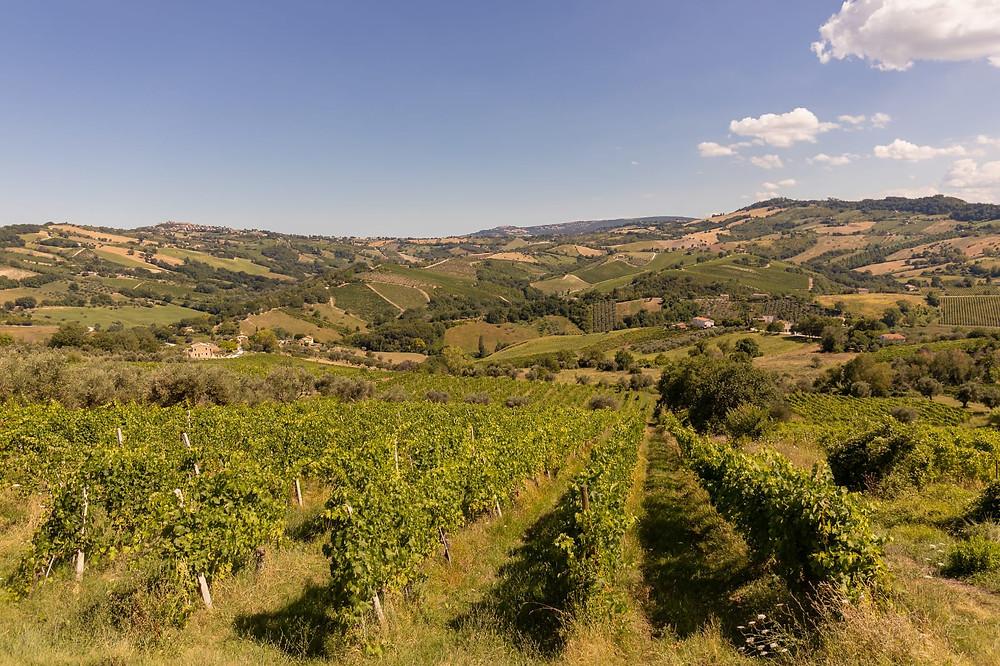 Vigne coltivate a Cupramontana, Marche, di Corrado Dottori La Distesa
