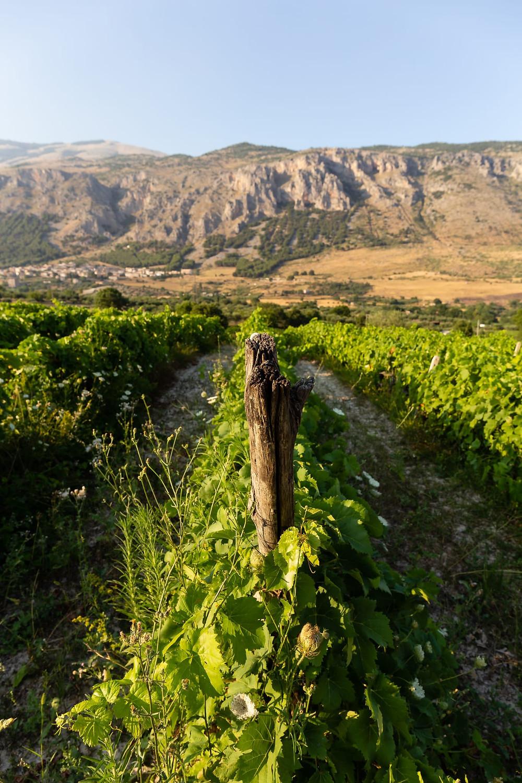 Vigna di vitigni autoctoni calabresi, l'Acino Vini, Parco Nazionale del Pollino