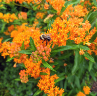 Buterfly Weed