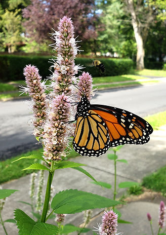 Monarch_114025.jpg