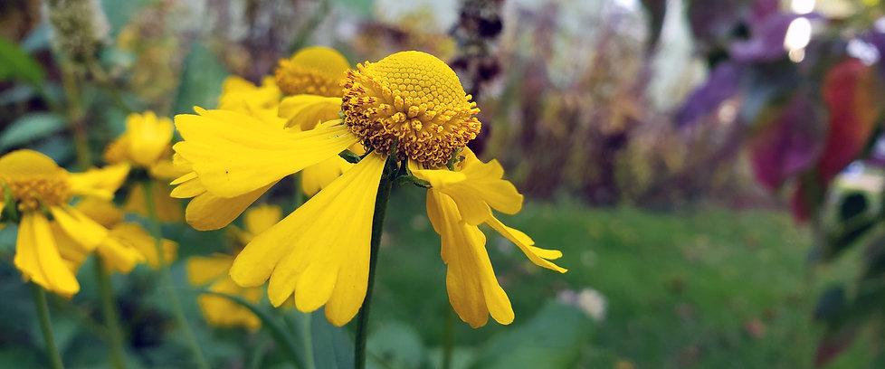 YellowDaisy_171402.jpg