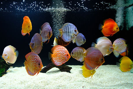 A fish tank of discus fish with angle fi