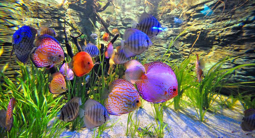 Discus fish swimming.jpg