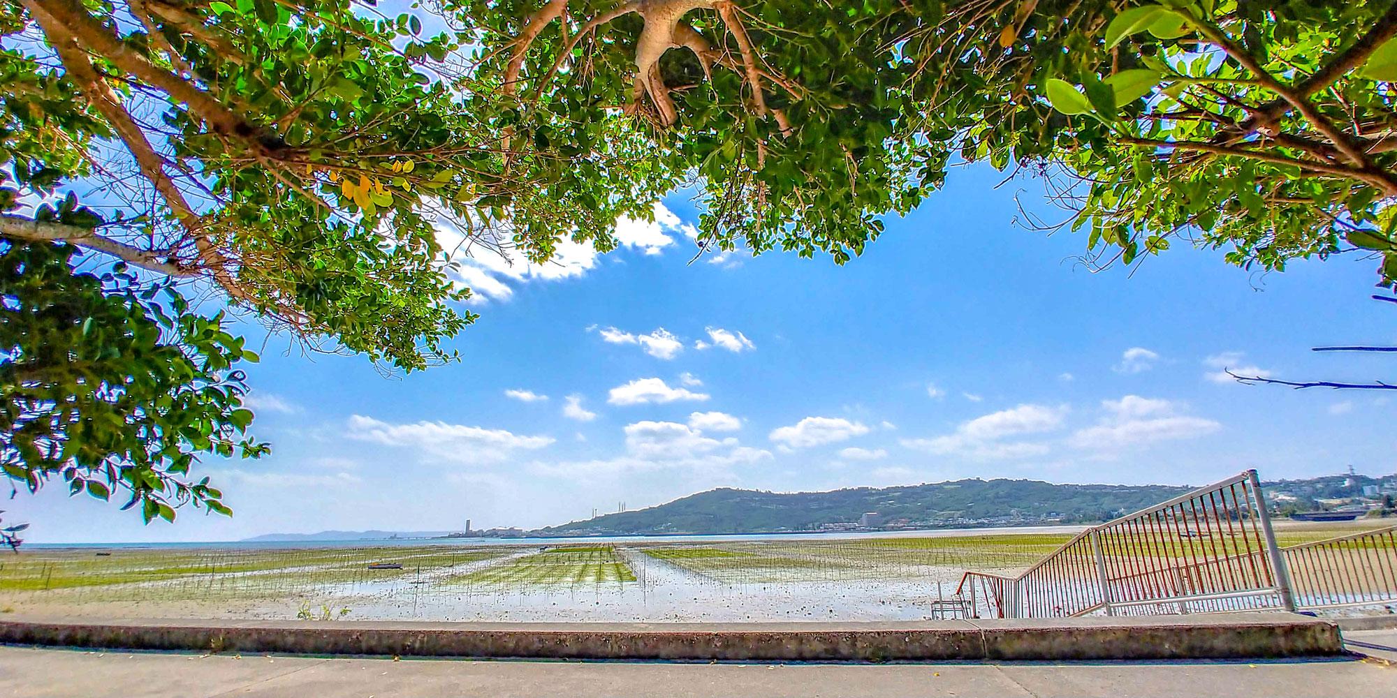 美崎浜のアーサ