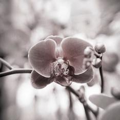 Floral 5868 sepia