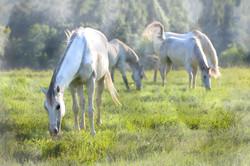 Middleburg Horses 5266