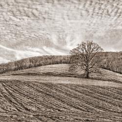 Lonely Tree | Virginia 1141-2