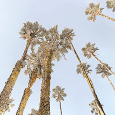 Santa Monica Palms 1531-3