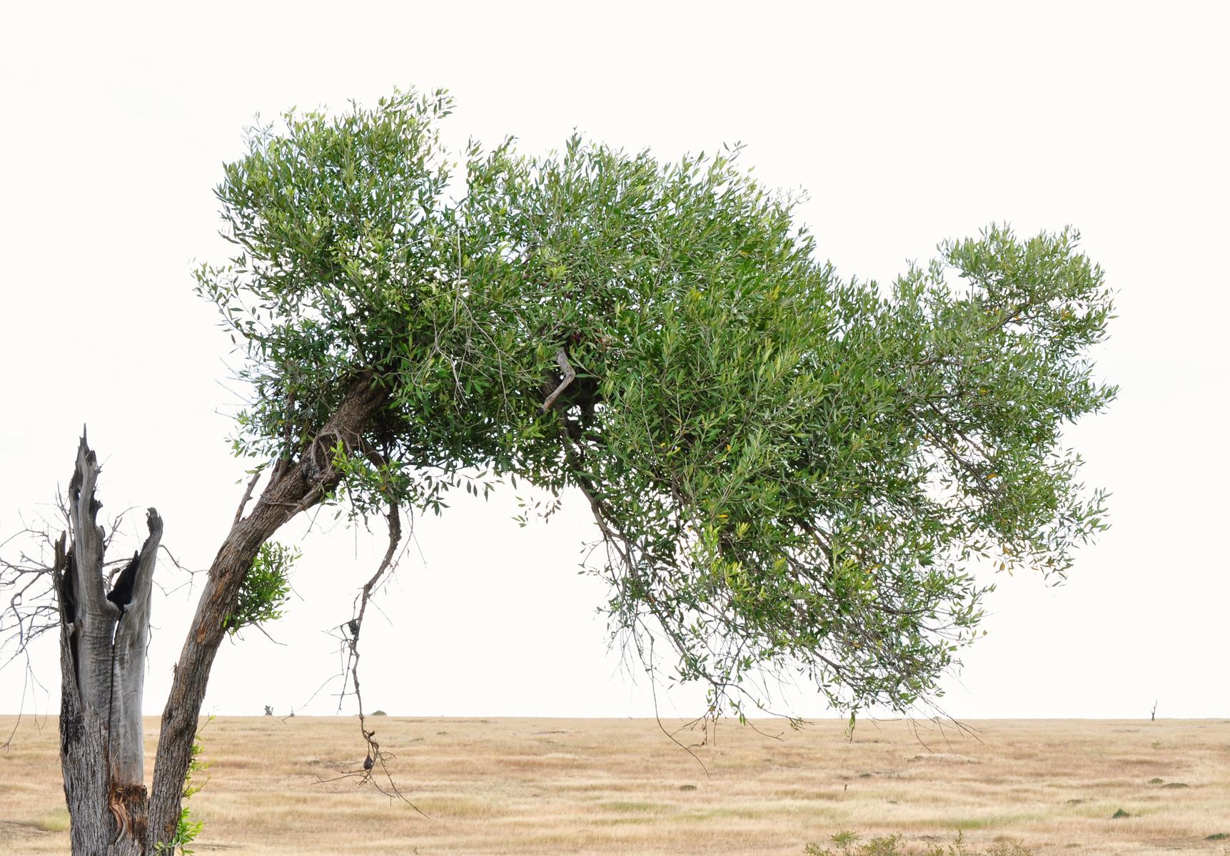 Kenya Tree 0235