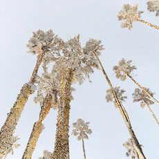 Santa Monica Palms 1531-1