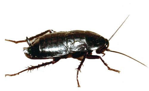 Blatta orientalis (Scarafaggio nero)