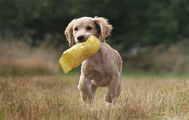 Gundog-schools.-Puppy