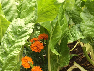 Over 3,000 Pounds of Vegetables Grown this Year!