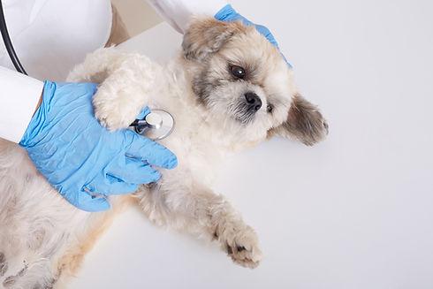 faceless-veterinarian-examining-pekinese