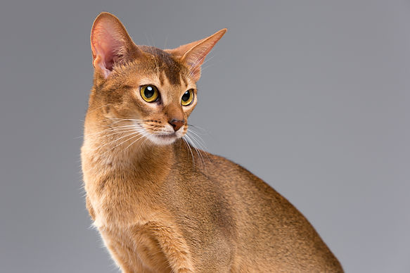purebred-abyssinian-young-cat-portrait.j
