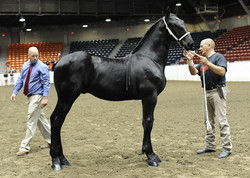 Windermere's Night Torrent - Co-owned with John and Lyn Renaud, Renaud Percherons