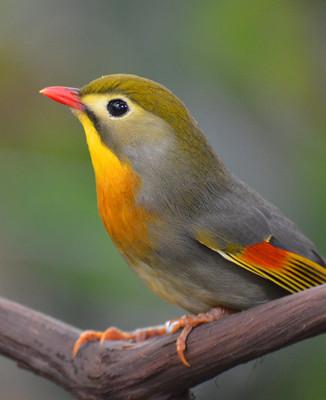 Le Chant des Oiseaux - Clement Jannequin