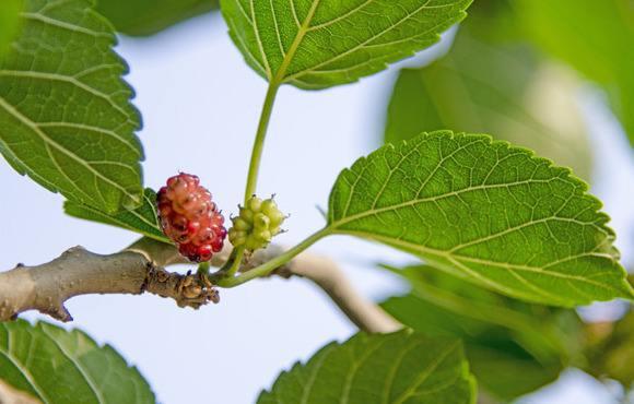 Mulberry Leaf Sang Ye