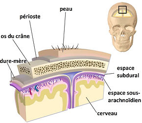 afee04ded2_76930_couches-meninges-fr-04.