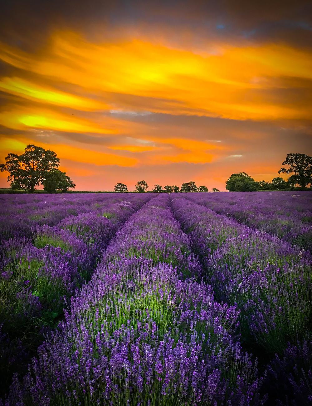 Somerset cool, Somerset lavender, Somerset blog, Somerset blogger, blogs about Somerset, Picture Somerset, Somerset photos