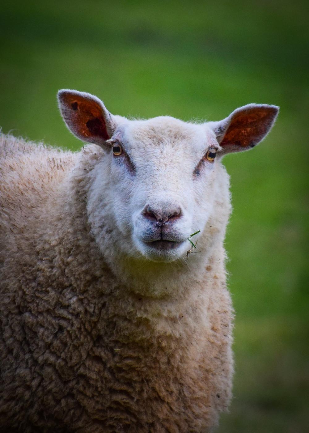Somerset cool, Somerset sheep, Somerset blogger, Somerset photos, picture Somerset