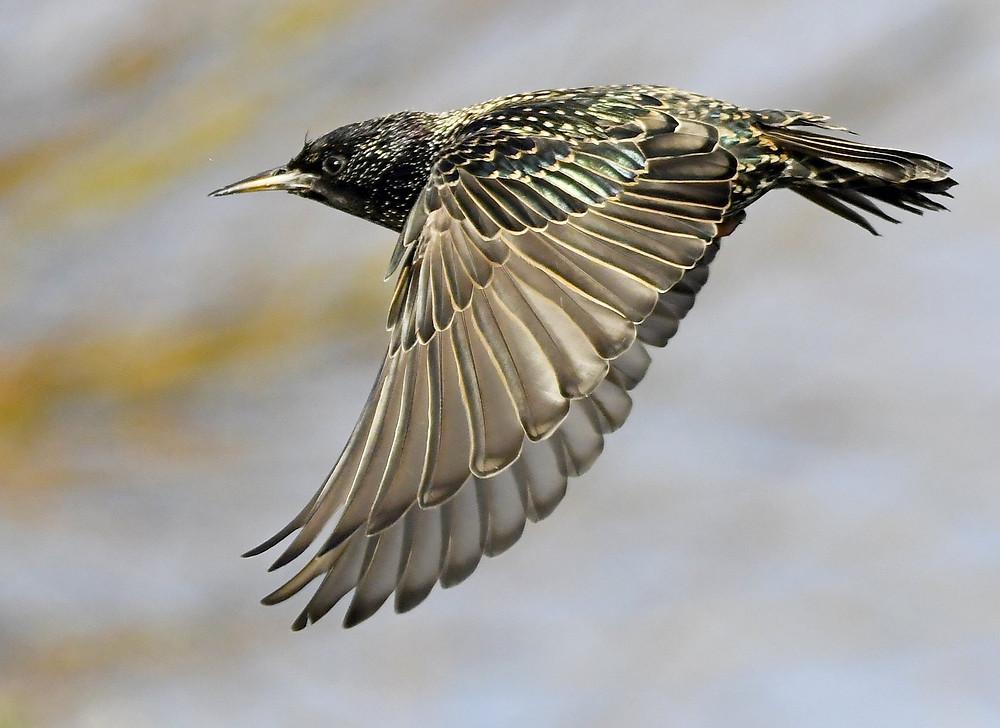 Somerset cool, Carl Bovis, Somerset starling murmurations, Somerset blogger